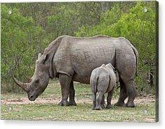 White Rhino And Calf Acrylic Print