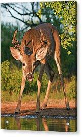 White-tailed Deer (odocoileus Acrylic Print