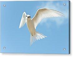 White Tern (gygis Alba Rothschildi Acrylic Print by Daisy Gilardini