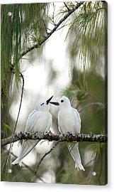 White Terns (gygis Alba Rothschildi Acrylic Print