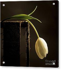 White Tulip Acrylic Print by Bernard Jaubert