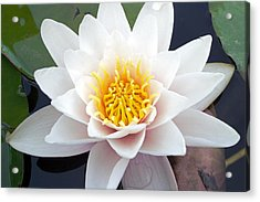 White Water Lily Acrylic Print by RM Vera