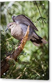 Acrylic Print featuring the photograph White-winged Dove by Beverly Parks