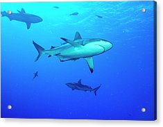 Whitetip Reef Sharks Over A Reef Acrylic Print by Louise Murray