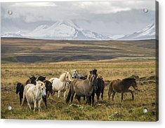 Wild Icelandic Horses Acrylic Print by For Ninety One Days