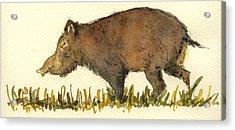 Wild Pig Acrylic Print