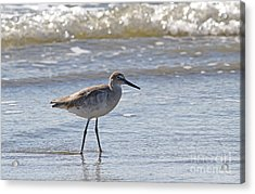 Willet Bird Wading In Ocean Surf Acrylic Print