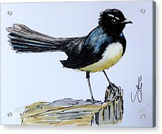 Willy Wagtail Acrylic Print