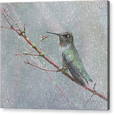 Wintering Hummingbird Acrylic Print by Angie Vogel