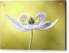 Wood Anemone Acrylic Print