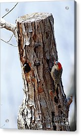 Woodpecker And Starling Fight For Nest Acrylic Print by Gregory G. Dimijian