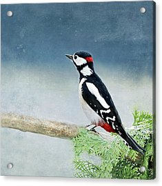 Woodpecker Acrylic Print by Heike Hultsch