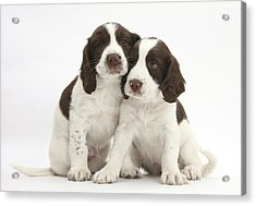 Working English Springer Spaniel Puppies Acrylic Print