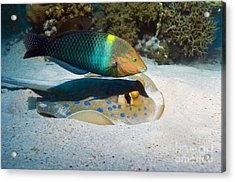 Wrasse And Ray Acrylic Print