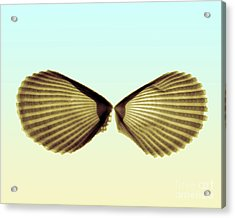 X-ray Of Angel Wing Shells Acrylic Print by Bert Myers