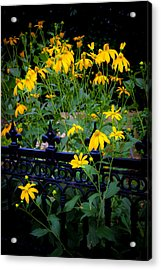Yellow Coneflowers Echinacea Wrought Iron Gate  Acrylic Print by Rich Franco