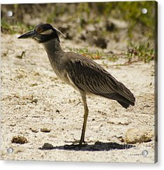 Yellow-crowned Night-heron Acrylic Print