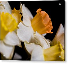 Yellow Daffodils Acrylic Print by John Holloway