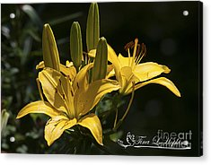 Acrylic Print featuring the photograph Yellow Day Lily 20120615_43a by Tina Hopkins