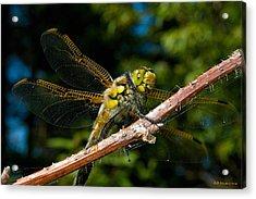 Yellow Dragon Acrylic Print by WB Johnston