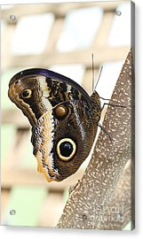 Yellow-edged Giant Owl Butterfly #4 Acrylic Print by Judy Whitton