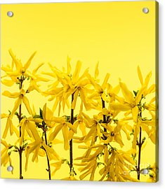 Yellow Forsythia Flowers Acrylic Print by Elena Elisseeva