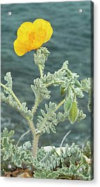 Yellow Horned Poppy (glaucium Flavum) Acrylic Print by Bob Gibbons