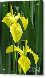 Yellow Iris Acrylic Print by Frank Townsley