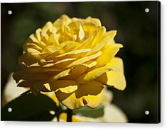 Yellow Rose Acrylic Print by Steve Purnell