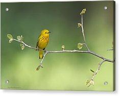 Yellow Warbler Acrylic Print by Daniel Behm