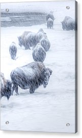 Yellowstone Bison Acrylic Print by David Yack