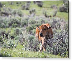 Bison Calf Acrylic Print