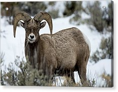 Yellowstone Ram Acrylic Print by David Yack