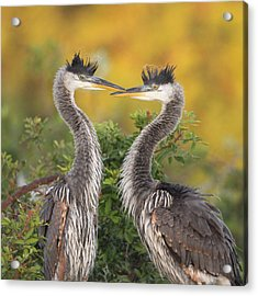Young Herons Acrylic Print by Brian Magnier
