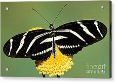 Zebra Longwing Butterfly Acrylic Print by Millard H. Sharp