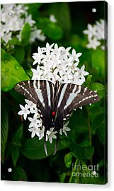 Zebra Swallowtail Acrylic Print by Angela DeFrias