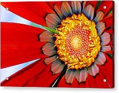 Acrylic Print featuring the photograph Zinnia In Red by Wendy Wilton
