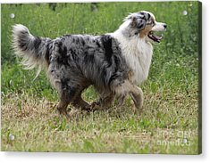 Australian Shepherd Dog Acrylic Print