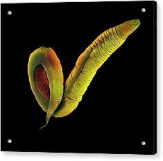 C. Elegans Worm Acrylic Print by Steve Gschmeissner