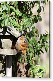 Eastern Fox Squirrel Acrylic Print by Jack R Brock