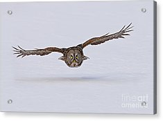 Great Gray Owl Acrylic Print