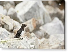 Little Auks Or Dovekie (alle Alle) Acrylic Print by Ashley Cooper