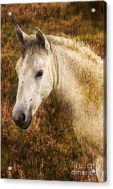 New Forest Pony Acrylic Print by Angel  Tarantella