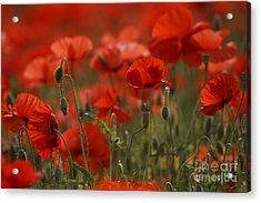 Red Poppy Flowers Acrylic Print by Nailia Schwarz