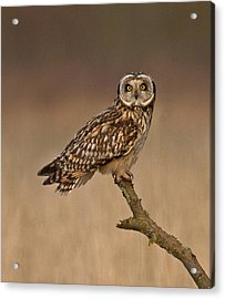 Short Eared Owl Acrylic Print by Paul Scoullar