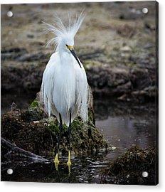 Snowy Egret Acrylic Print by Bill Martin