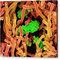 Streptomyces Coelicoflavus Bacteria Acrylic Print by Science Photo Library