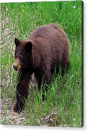 100414 Black Bear Acrylic Print by Garland Oldham