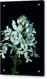 Orchid Flowers Acrylic Print by Paul Harcourt Davies/science Photo Library