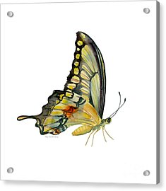 104 Perched Swallowtail Butterfly Acrylic Print